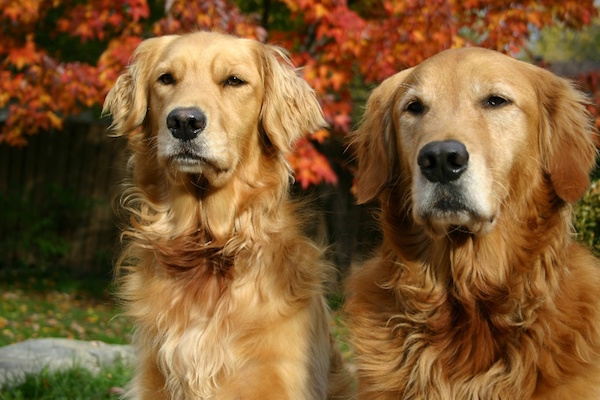 Breed of the Month - Golden Retriever